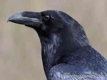 Kola the stolen raven could die if he isn't returned to the Ecomuseum
