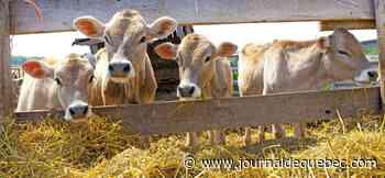 COVID-19: les éleveurs de veaux de lait au bord de la faillite