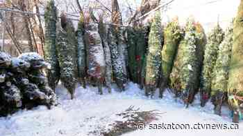 'You don't want to wait': Christmas trees selling fast in Saskatoon