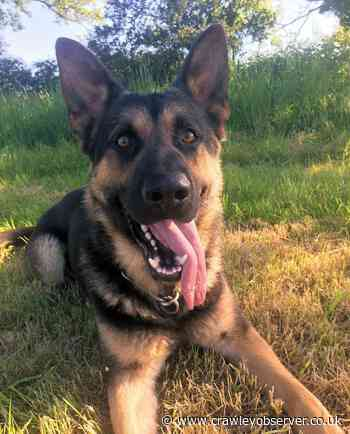 Police dog helps save vulnerable man missing in woods between Horsham and Crawley - Crawley Observer