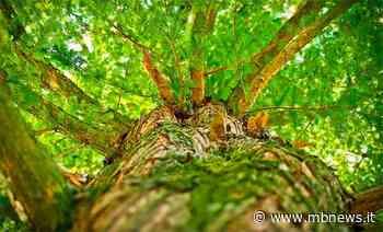 Desio, bilancio del verde positivo: i nuovi alberi doppiano quelli abbattuti - MBnews