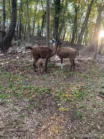 I lama del parco di Cavriglia sono al sicuro. Un intervento di recupero riuscito grazie alle varie parti - Valdarnopost