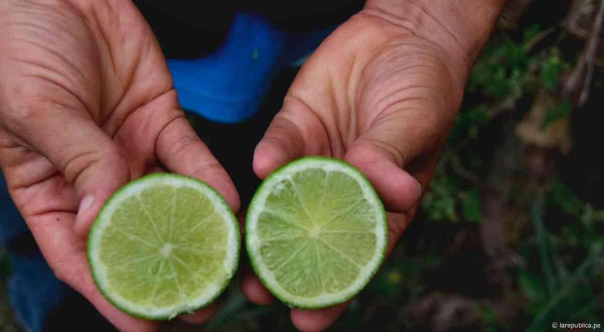 San Martín: sembrarán 50 hectáreas de limón Tahiti para exportación LRND - LaRepública.pe