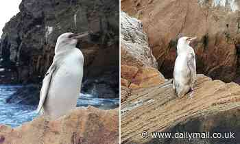 Extremely rare WHITE penguin is spotted on the Galapagos Islands