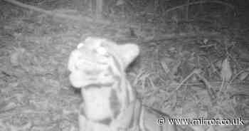 Rare image shows clouded leopard spotted in wild for first time in 20 years