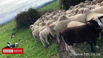 Somerset farm begs walkers to stop dogs spooking sheep