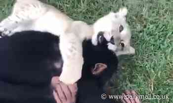 Baby lion and chimpanzee are best of friends and love a good-natured grapple