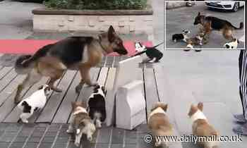 Funny dog moment: German shepherd scurries for cover while being chased around by Corgi puppies