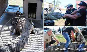 Alligator dubbed the 'Dollar Store Gator' and known for lurking around a Texas bargain outlet