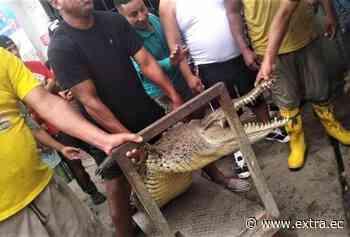 Susto en Puerto Bolívar por hallazgo de un cocodrilo - Portal Extra