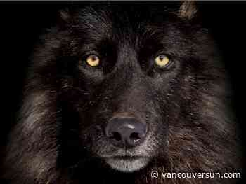 Book review: Yellowstone park wolf chronicler gives 'top dog' its due
