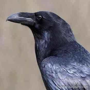 Stolen raven: Montreal-area zoo urging those who took 'Kola' to return him