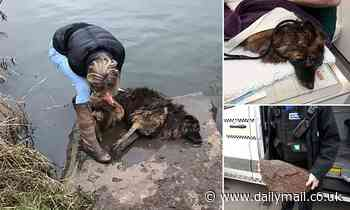 Passer-by saves Belgian Shepherd that woman tried to drown in freezing river with rock tied to neck