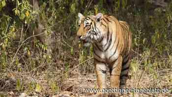 Tiger greift Dorfbewohner an - zwei Verletzte