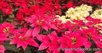 La Petaca, Concordia, el rincón de Sinaloa donde nace la flor de nochebuena - Linea Directa