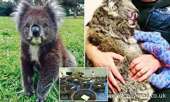 Adelaide: Race against time to stop vulnerable koalas from being KILLED