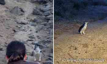 Eagle-eyed wildlife expert saves penguin's life by spotting a very disturbing detail