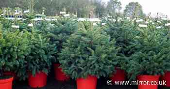 Stop your Christmas tree wilting with odd hack that gardeners swear by