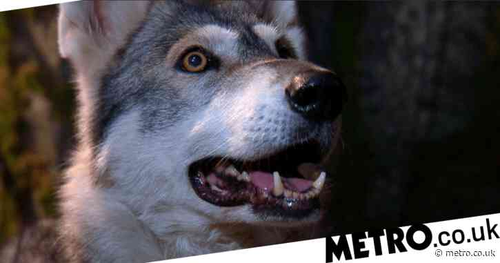I'm A Celebrity 2020: Adorable and totally unscary wolf roped in for Victoria Derbyshire's trial in series first