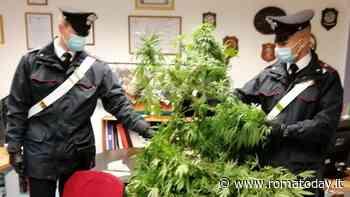 """Intervengono per una lite in famiglia e scoprono serra di marijuana: presa """"Lady Maria"""""""