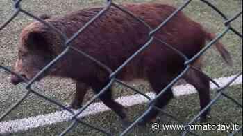Cinghiali, catturato un esemplare a Villa Carpegna: è stato trasferito in una fattoria didattica