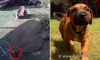 Sunshine Coast: Carpet python tries to choke nine-week-old wolfhound cross named Jasper to death