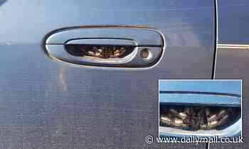 Terrified woman finds a huge spider lurking in her car door handle