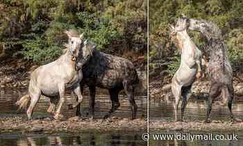 Two stallions rear up and engage in an epic battle over mare in Tonto National Forest