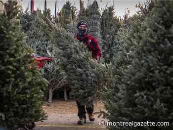 Quebec Christmas tree producers expect a record year in 2020