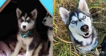 Surrendered one year ago, 17 adopted husky puppies growing up, doing well, says BC SPCA