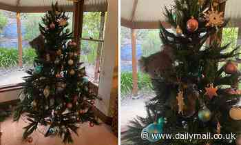 Adorable moment a koala climbs up a Christmas tree in a family's home in Adelaide