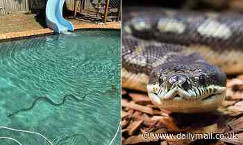 Queensland family find a massive snake lurking in the bottom of their outdoor swimming pool
