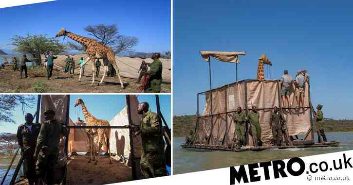 Critically endangered giraffe saved from 'disappearing' island on makeshift raft