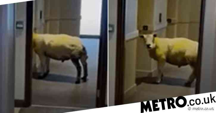 Sheep caught roaming empty hotel after working out electric doors