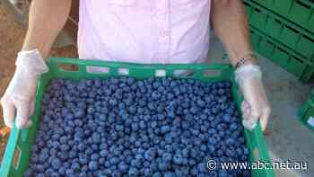 Blueberry pickers paid as little as $3 an hour, report alleges