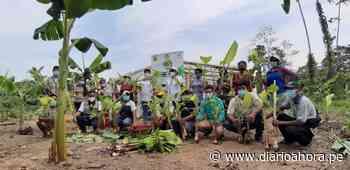 Entregan en Uchiza 3 mil hijuelos de plátano - DIARIO AHORA