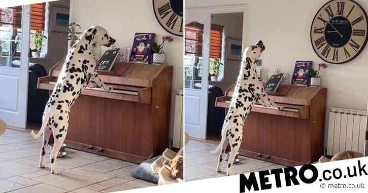 Dalmatian caught by owners playing piano and singing along