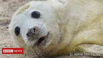 Farne Island seal pup census carried out by drone