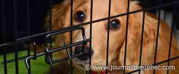 18 chiens vivant dans l'insalubrité sont sauvés en Abitibi