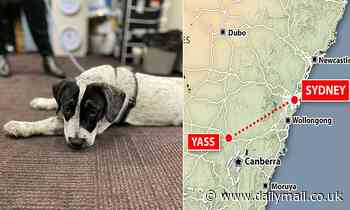 NSW Police find Speck the cattle dog 280km from home in Yass in a car in Sydney's CBD