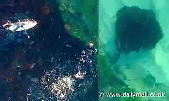 Huge stingray known as Raymond spotted at Tamarama Beach in Sydney