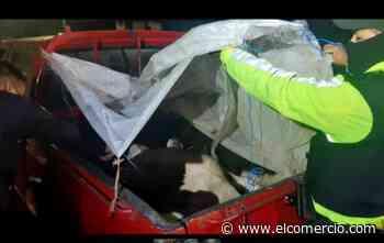 Policía de Salcedo capturó a dos hombres que robaron ganado en Machachi - El Comercio (Ecuador)