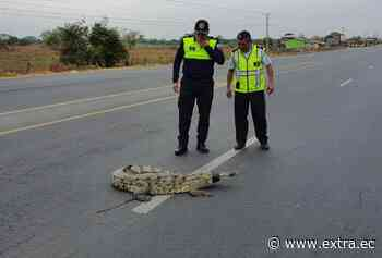 ¡Lagarto se 'paseaba' en carretera de Lomas de Sargentillo! - Portal Extra