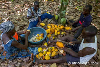Cote d'Ivoire cocoa growers step up campaign against chocolate giants - cgtn.com