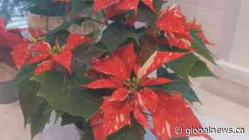 GardenWorks: perfect poinsettias