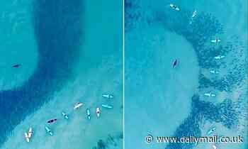 Seal chases school of salmon at Bondi Beach