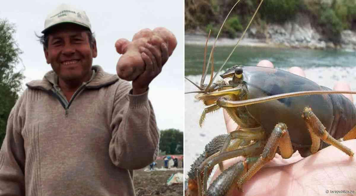 Arequipa: organizan concursos de la papa y camarón más grande en Cocachacra - LaRepública.pe