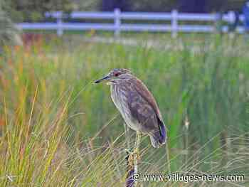 Black-Crowned Night Heron On Hawkes Bay Executive Golf Course - Villages-News