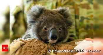 Australia's 'black summer' bushfires killed or harmed more than 60,000 koalas -WWF