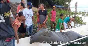Investigan la muerte de un manatí en la ciénaga de Ayapel, en Córdoba - Semana